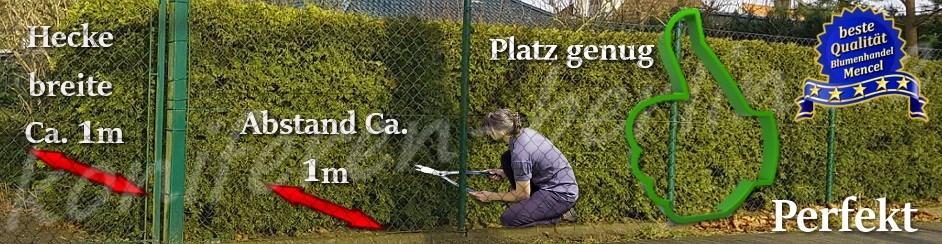 Pflanzabstand Bei Thuja Hecke