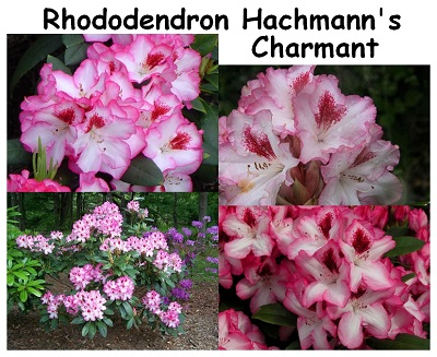 Rhododendron Hachmanns Charmant