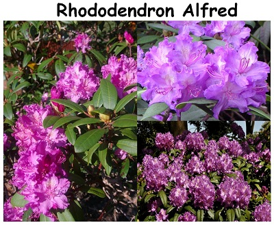 Rhododendron Hybrid Alfred