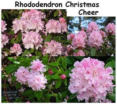 Rhododendron Hybrid Christmas Cheer