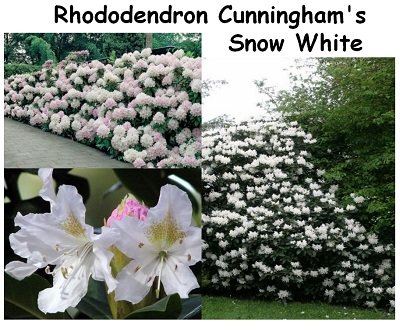Rhododendron Hybrid Cunninghams Snow White