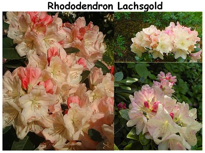 Rhododendron Hybrid Lachsgold
