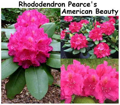 Rhododendron Hybrid Pearces American Beauty