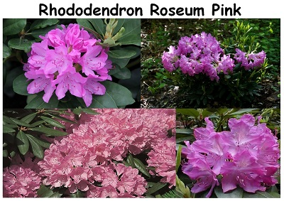 Rhododendron Hybrid Roseum Pink