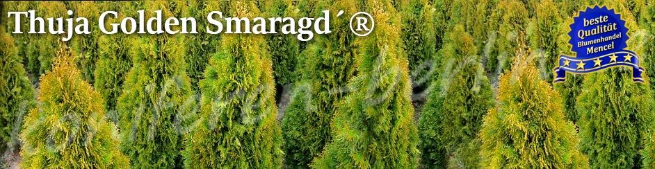Thuja Golden Smaragd Mencel Berlin