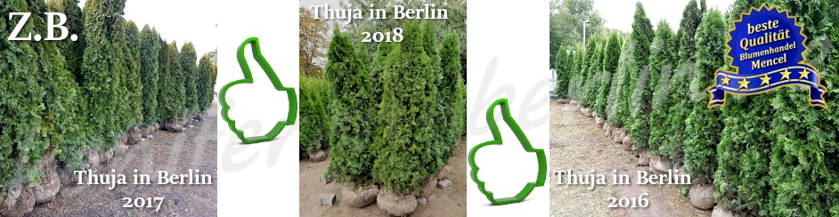 Thuja in Berlin 201620172018