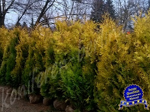 Thuja occ. Yelow Ribbon 160 180